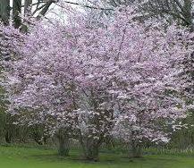 prunus subhirtella autumnalis rosea dw frostdw frost