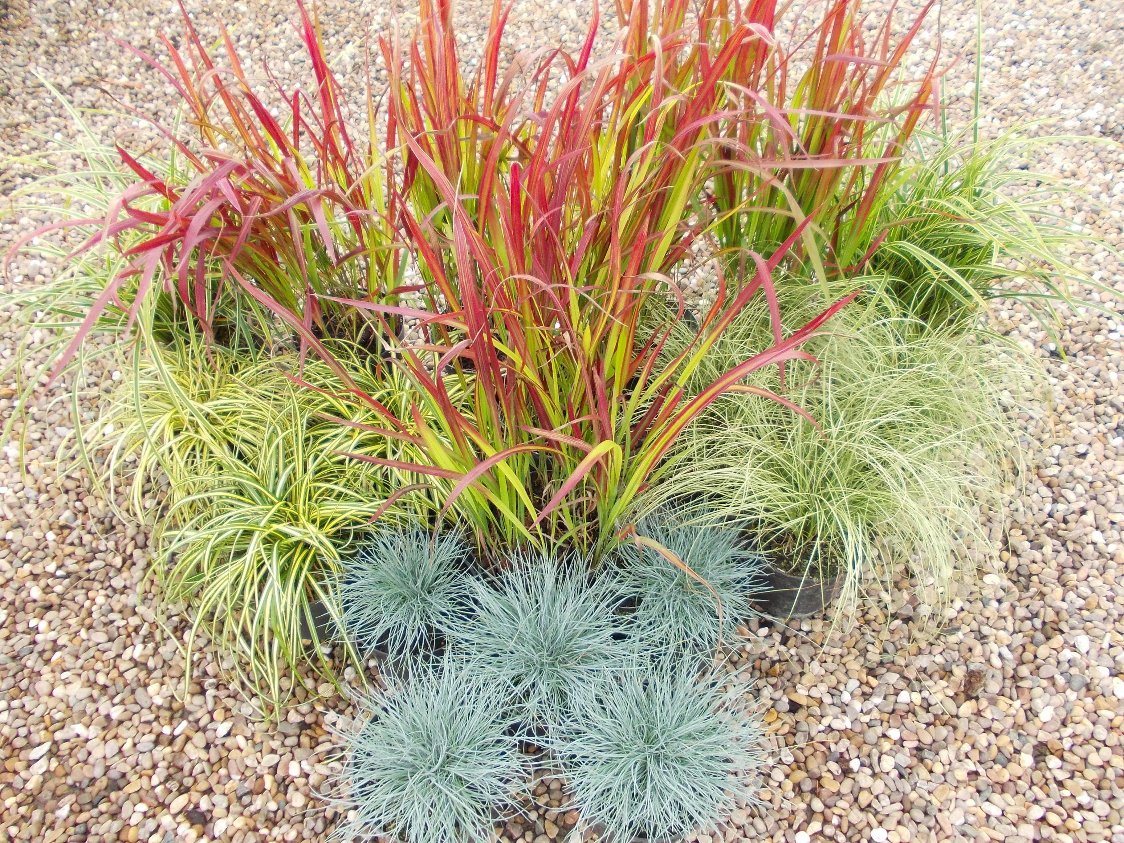 Plant of the month september dw frost for Easy to grow ornamental grasses